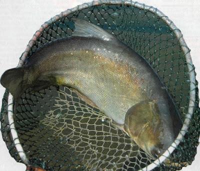 Budidaya Ikan Mola