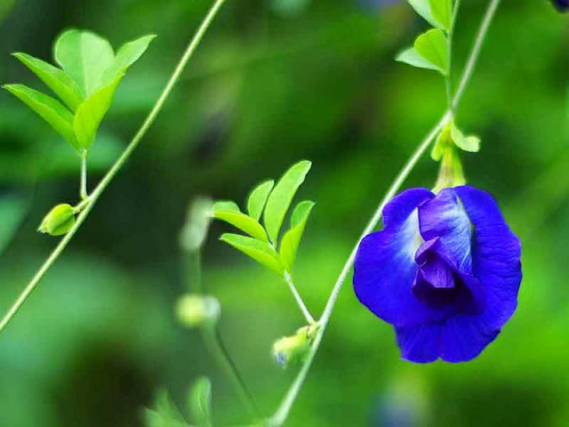 flower and vine, Blue Pea
