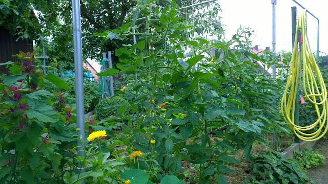 prächtig gedeihende Freiland-Tomaten (c) by Joachim Wenk