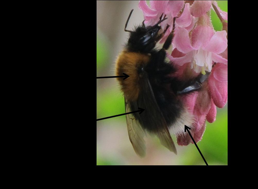Urban Pollinators Range Expansion Of The Tree Bumblebee