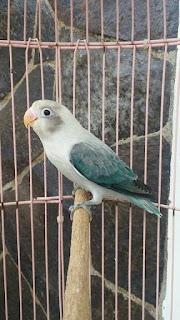 gambar lovebird biola euwing blue