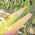 Com maior previsão de chuvas, produtores estimam alta da safra