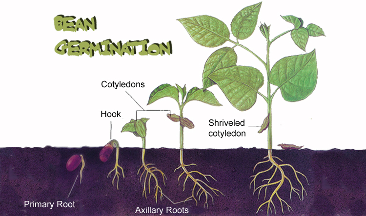 diagram of a bean plant taylor klassen's bio 20 blog: seed project - agriculture ...