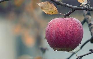 apple in a tree