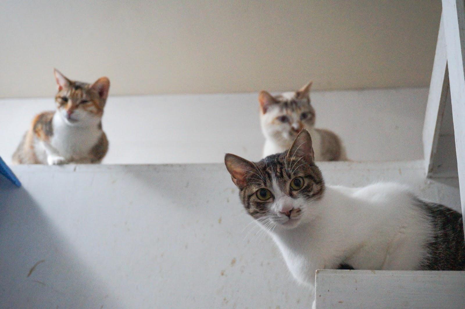 潔米品課 ⋈: 關於 領養貓咪 (成貓/領養/中途之家/新竹/貓奴新手)