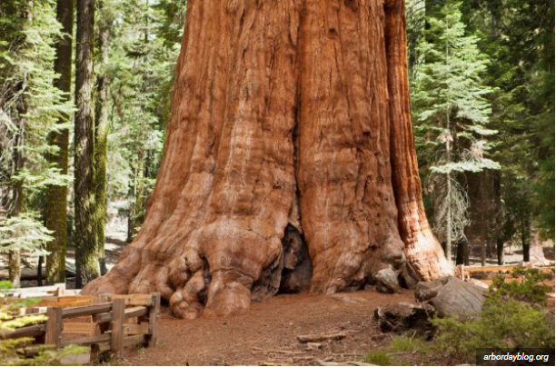 largest tree in the world