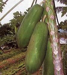 Gambar Pepaya Jingga