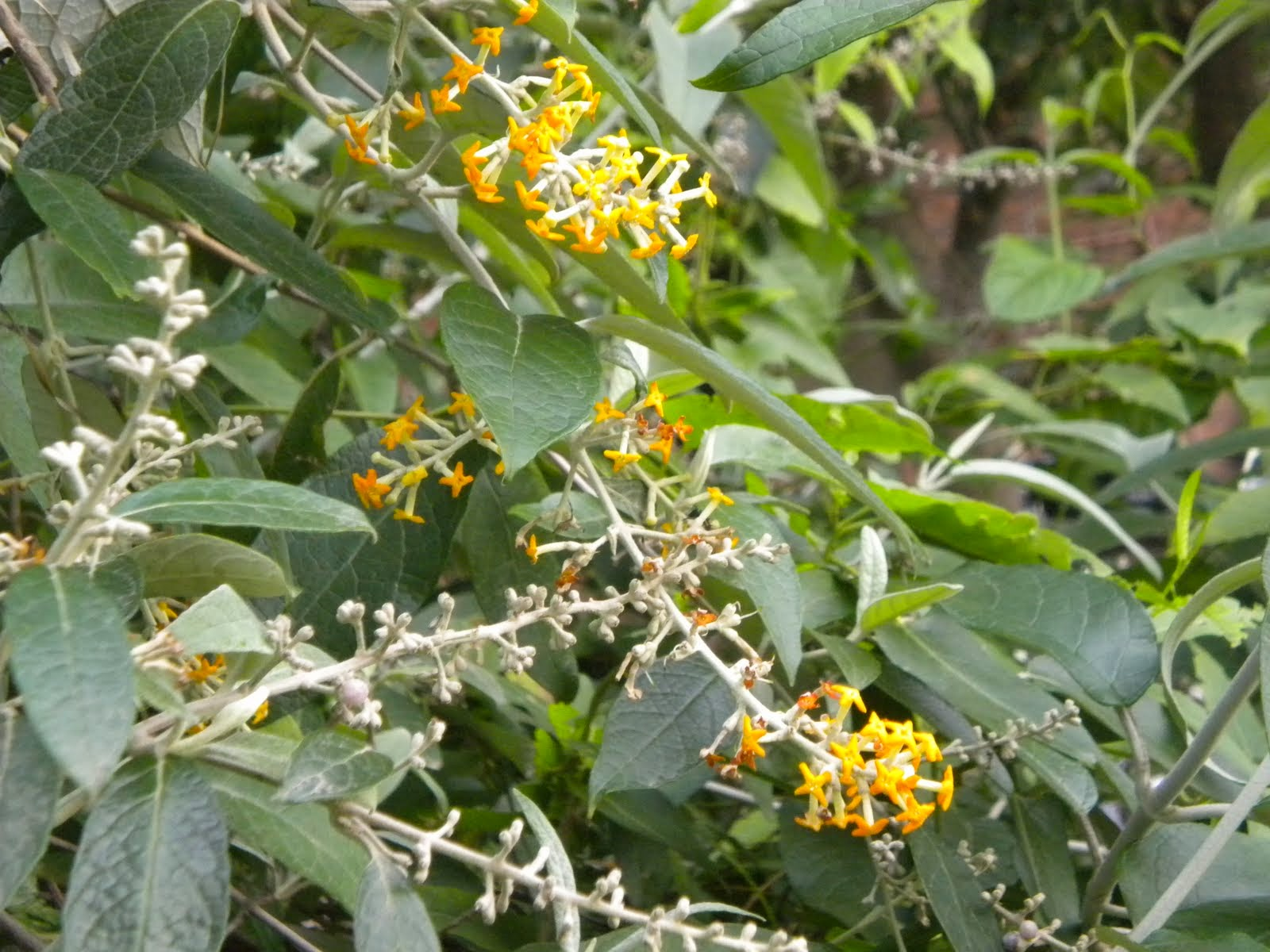 Arbustos para macetas for Especies de arbustos