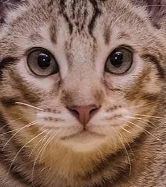Ocicat Bengal Mix Personality, Size, Lifespan, Price