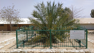 Methuselah, a Judean date palm