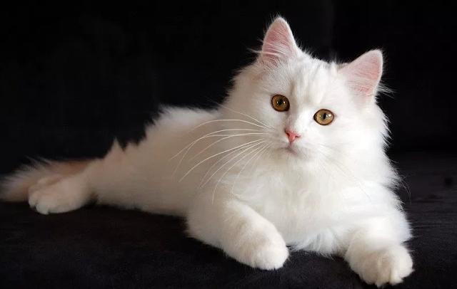 Cek Harga, Fakta, Dan Ciri-ciri Kucing Persia Medium