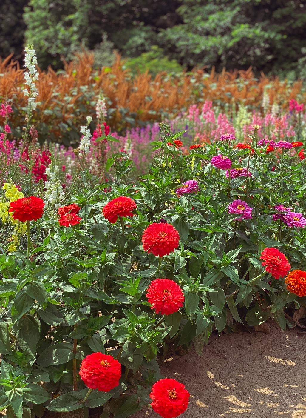 common zinnia, summer garden flowers, blooming flowers, summer flowers that bloom
