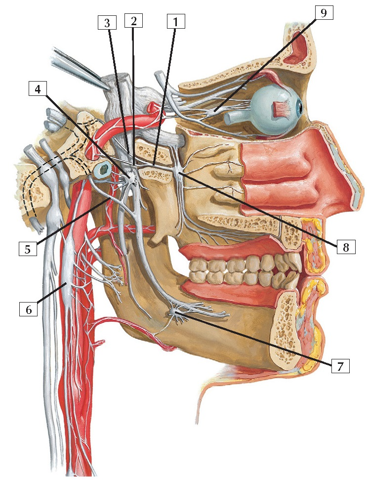 Autonomic Nerves in Head Anatomy