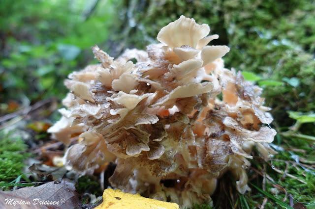 champignon polypore en touffe