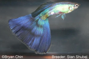 Purple Stan Guppy