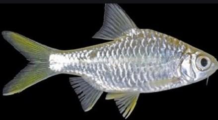 gambar ikan wader