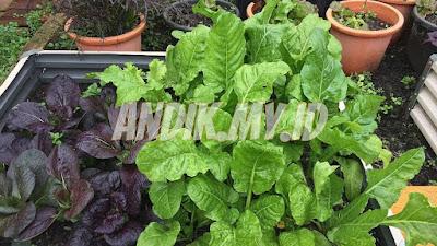 sayur, sayuran organik, kebun organik, berkebun organik, pertanian organik