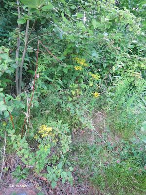 Klamath weed, Hypericum perforatum