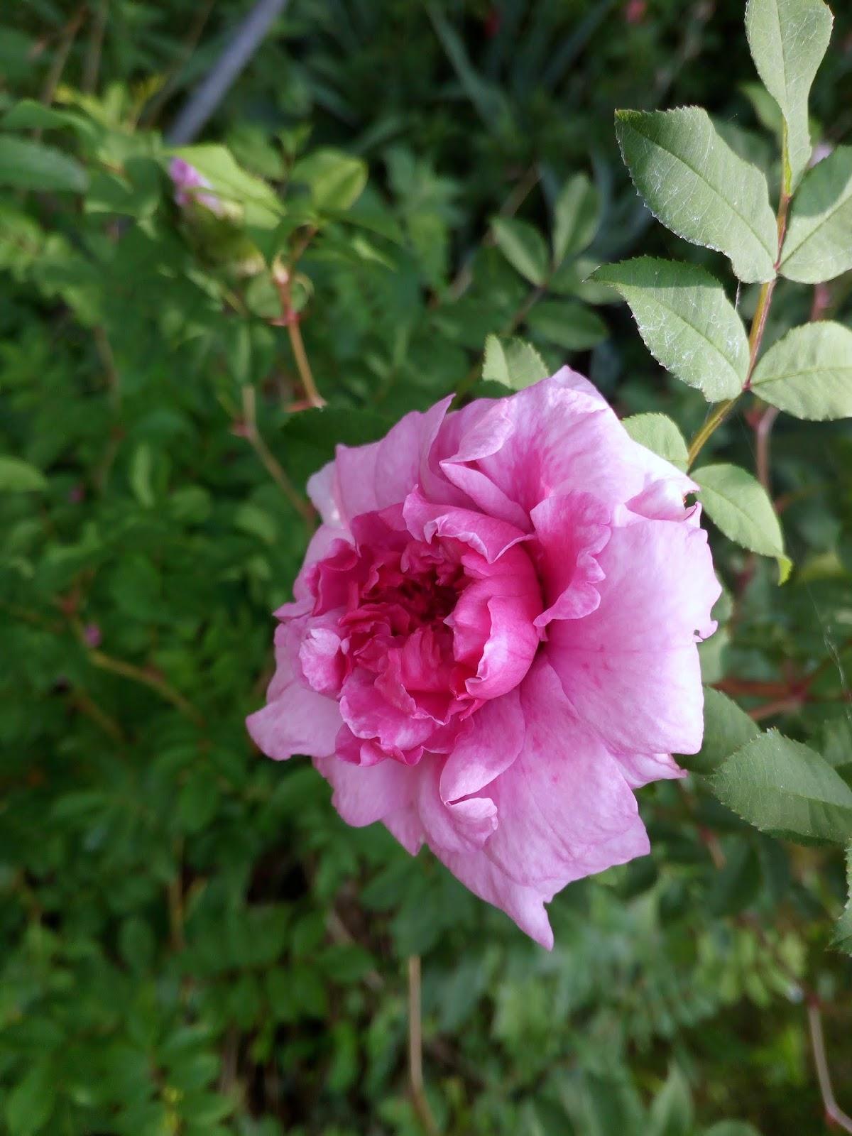 Rose Da Taglio Rifiorenti cucino in giardino: rose ritardatarie