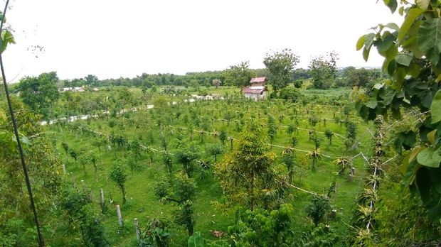 gresik24jam - Gresik Kini Punya Wisata Agro Petik Buah Naga, Penasaran