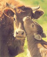 http://www.veganismo.org.br/p/bovinos.html