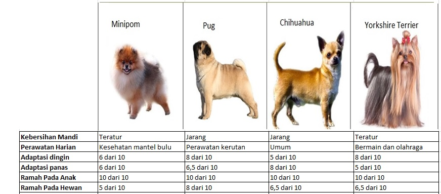 Perbedaan Cara Merawat Anjing Minipom Pug Chihuahua Dan Yorkshire Terrier
