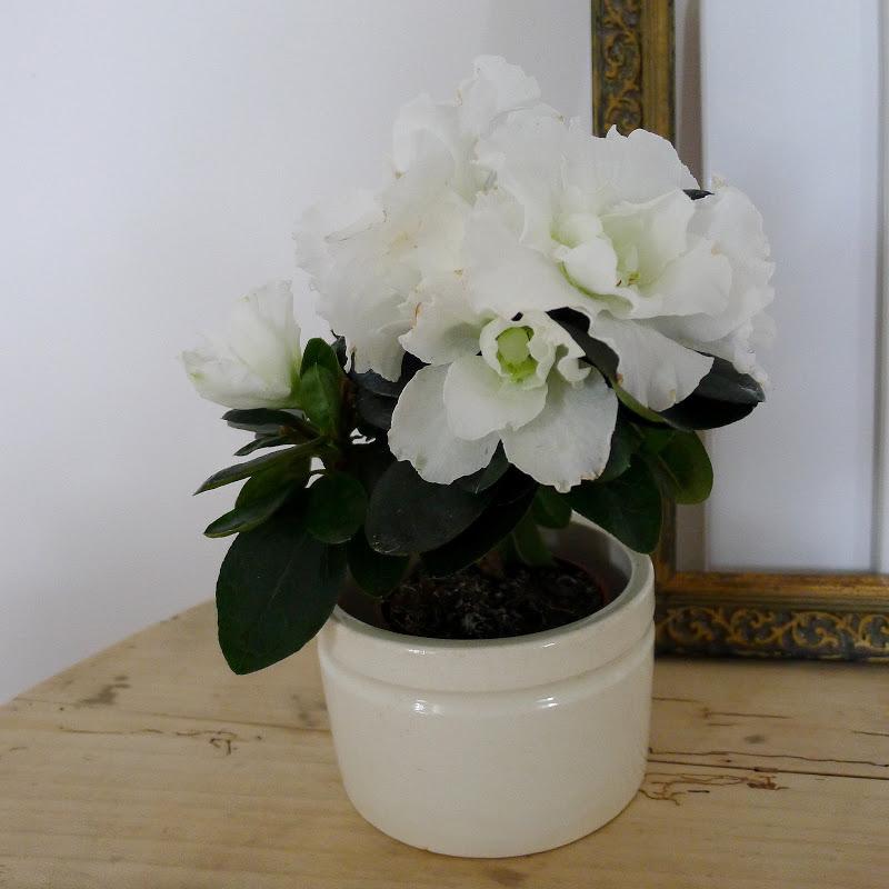 the white home azalea. Black Bedroom Furniture Sets. Home Design Ideas