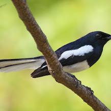 Cara Terapi Khusus Burung Kacer Dari Giras Menjadi Setengah Jinak