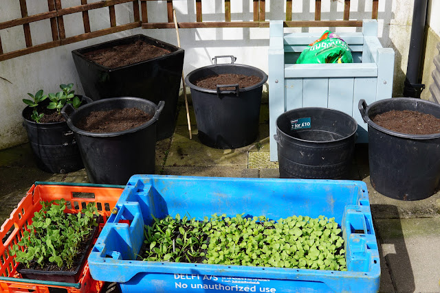spuds and broad beans in pots, peas, spinach, turnips and radishes ready to go - a stubborn optimist blog - C Gault 2020