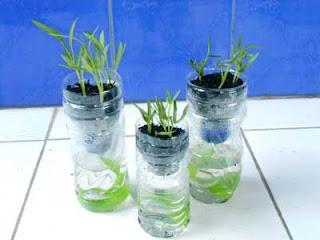 menanam kangkung hidrponik botol bekas