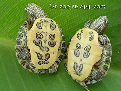 Plastrón de dos crías de tortugas de orejas rojas