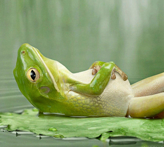 Green Frog Lying on its Back a Floating Lotus Leaf