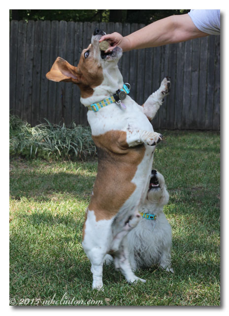 Basset jumps for treat