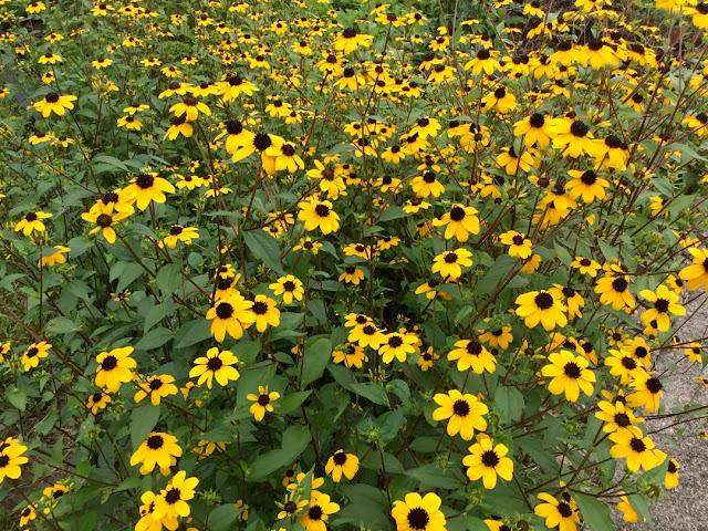 field of black eyed Susans