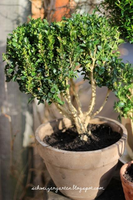 ein schweizer garten buchsbaumpilz ein m glicher ersatz wie man heuchera stecklinge gewinnt. Black Bedroom Furniture Sets. Home Design Ideas