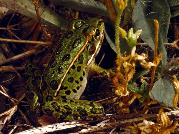 Northern leopard frog eating - photo#44