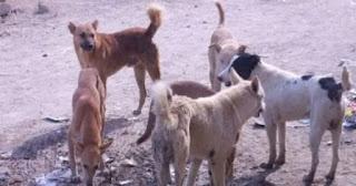 كلاب ضالة تهاجم أستاذة وترسلها إلى المستعجلات