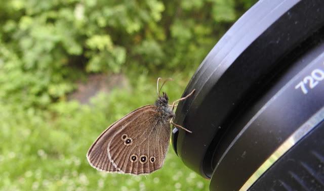 Tesmaperhonen, perhoskuvaaja, heinäkuu, irja