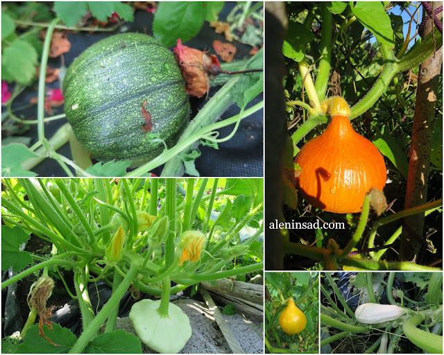 урожай, плоды, тыквины, патичок, посадка в мешки, тыква, лагенария, патиссоны, кукуруза, методы выращивания, способы выращивания, компост в мешках, аленин сад