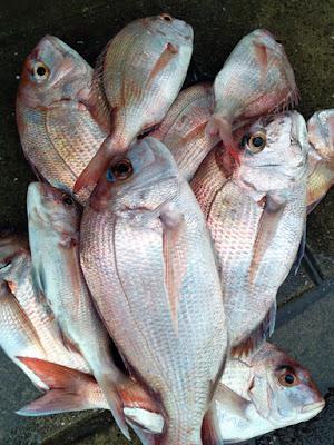 ポータボートでの釣果 真鯛