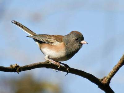 Photo of female Dark-eyed (Oregon) Junco on branch