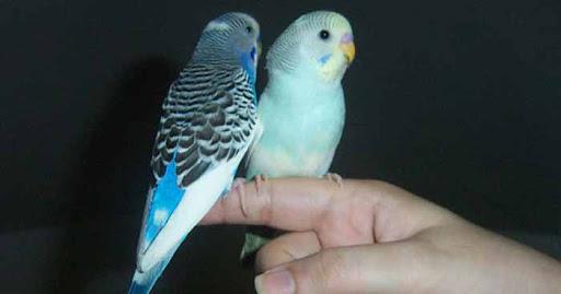 Muhabbet Kuşu Ele Alıştırma