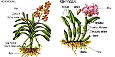 orquideas-monopodial-e-simpodial