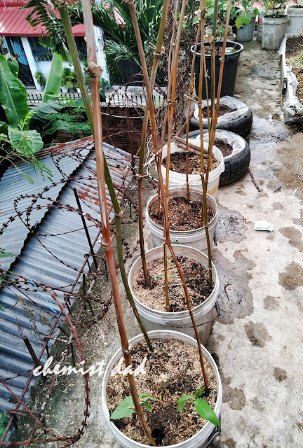 how to grow sitaw, sitaw, urban gardening, urban planting, sitao, home and living, tips on urban gardening, organic farming,