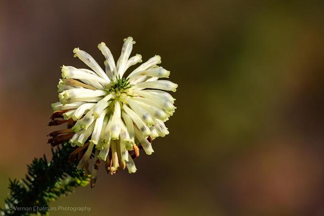 Flower Kirstenbosch National Botanical Garden Cape Town Vernon Chalmers Photography