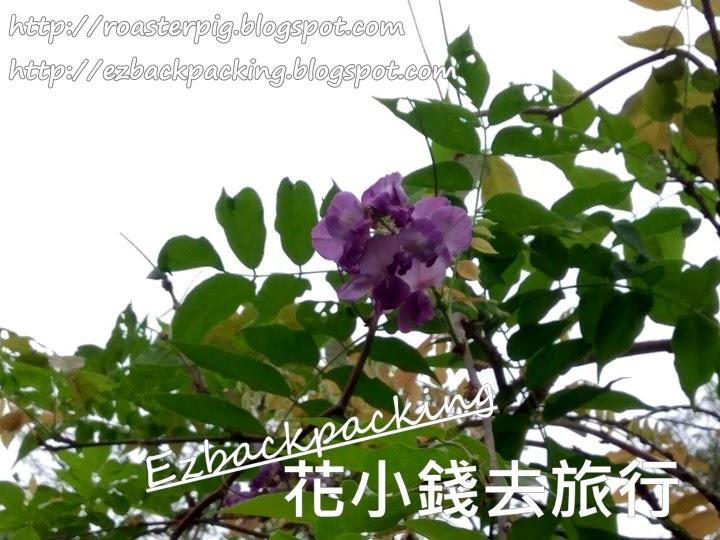 荔枝角紫藤花