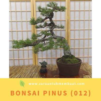 Bonsai Pinus (012)