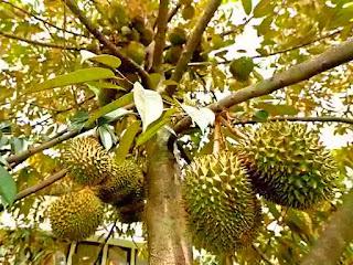 tips-pemangkasan-pohon-durian.jpg