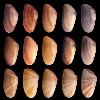 Variabilidad de conchas