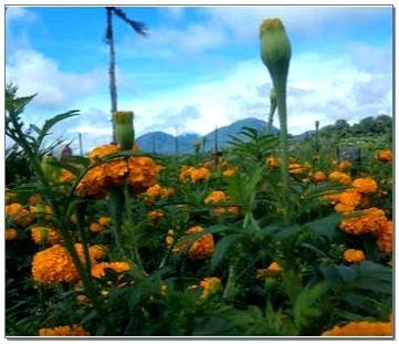 Kebun Marigold Bali